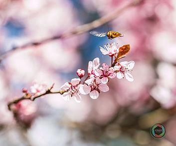 Insekt im Landeanflug auf Kirschblüten