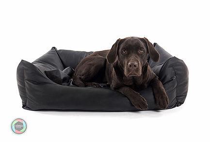 Studioaufnahme Brauner Labrador