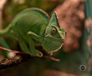 Nahaufnahme eines Chameleons